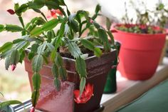 Here's the clever little trick to encourage your Christmas or Thanksgiving cactus bloom profusely. Christmas Cactus Care, Christmas Plants, Easter Cactus, Desert Rose Plant, House Plant Care, House Plants, Succulent Gardening, Indoor Gardening, Container Gardening
