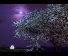 akura(cherry blossoms) and Okayama Castle in the moonlight.
