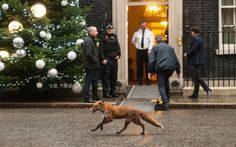 A fox goes about its business in Downing Street shortly before the Prime Minister leaves for the Houses of Parliament