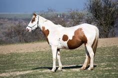 Koń American Pint Horse