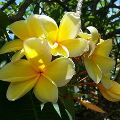 Plumeria Hawaiian Plants, Tropical Flowers, Colorful Flowers, Florida Plants, Types Of Plants, Outdoor Plants, Landscape, Greenhouses, Islands