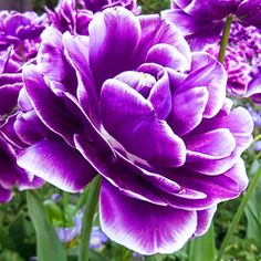 Double Peony Tulip Dream Touch- purple-red flowers softly edged in white #dutchbulbs