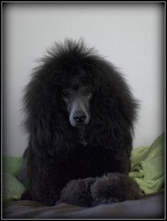 Everything About The Proud Poodle And Kids #poodlepup #poodlepuppies #poodlegrooming Poodle Cuts, Poodle Mix, Poodle Puppies, I Love Dogs, Cute Dogs, Healthiest Dog Breeds, Small Poodle, French Dogs, Tea Cup Poodle