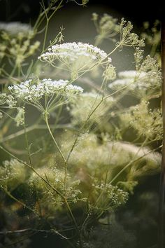 Cow Parsley - beautiful umbels with delicate features