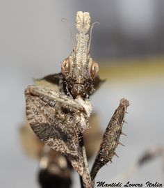 Gongylus gongylodes femmina subadulta - Copyright