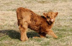 Cute Baby Cow, Baby Animals Super Cute, Cute Cows, Cute Little Animals, Cute Funny Animals, Baby Farm Animals, Baby Cows, Happy Animals, Cow Pictures