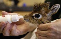 baby antilope