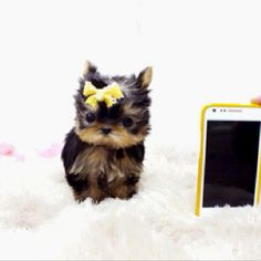 Micro teacup Yorkie and he's all mine now! <3