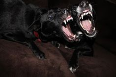Can An Aggressive Dog Be Rehabilitated? Aggressive Dog Aggressive Dog Be Rehabilitated Can An Aggressive Dog Be Rehabilitated Funny Dogs, Cute Dogs, Funny Animals, Cute Animals, Animals Dog, Dobermann Tattoo, Animal Kingdom, The Wicked The Divine, Puppy Biting