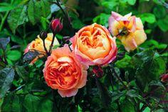 http://www.rosemania.it/wp-content/uploads/2007/09/ladyemmahamilton.jpg