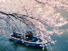 The delicate pink sakura, or cherry blossom, is associated primarily with the culture of its native Japan. These trees blossom throughout Japan every spring, but their beauty never gets old, so we'… Cherry Blossom Petals, Cherry Blossom Japan, Cherry Blossom Season, Blossom Trees, Japanese Nature, Japanese Landscape, Japanese Art, Photo Japon, Japanese Blossom