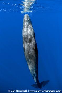 photo sperm Dauphin island whale