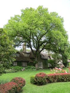 Cotswold cottage and the American elm tree