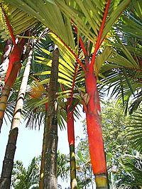 Cyrtostachys renda, Palma-de-cera, Palmeira-de-cera, Palmeira-laca-vermelha, Palmeira-lacre, Palmeira-vermelha