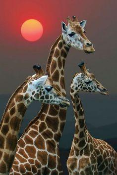 three cute giraffes in the sunset