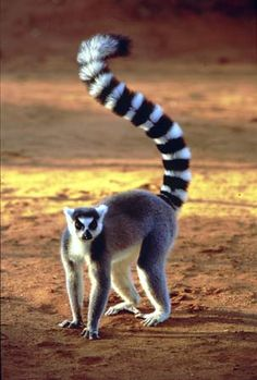 The ring-tailed lemur (Lemur catta). All lemurs are endemic to the island of Madagascar, off of Africa.  The more likely candidate for the identity of this cryptid would be a member of the family Procyonidae, consisting of the olingo, ringtail, cacomistle, raccoon, and coati.