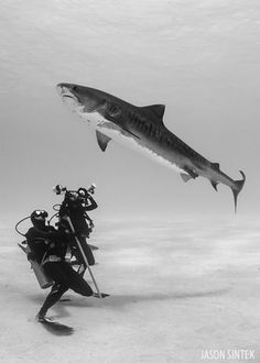 scuba diving with tiger sharks in the Bahamas #ScubaDivingMagazine