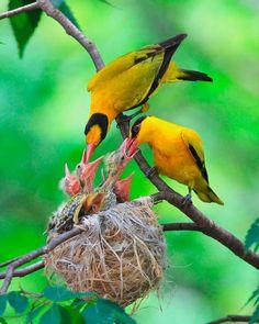 Birds in Thailand: Black naped Oriote