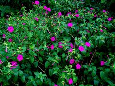Purple Trumpet Vine - Be sure to visit GardenAnswers.com and download the free plant idenfication mobile app.