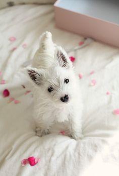 Perfectly precious Westie puppy