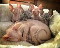 30 Images In Appreciation Of Sphynx Kitties – People love kittens because they are little and fluffy – but what's hiding underneath all that fur? I Love Cats, Crazy Cats, Cool Cats, Gato Sphinx, Beautiful Cats, Animals Beautiful, Beautiful Family, Chat Sphynx, Hairless Cats
