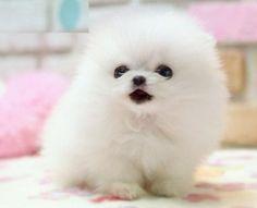 pomeranian spitz aleman cute tiny little small teacup breed dog puppy