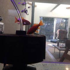 【wa.yo.modern】さんのInstagramをピンしています。 《金魚救い出身のアクアリウム #日々のこと#暮らし#日常#金魚#アクアリウム#金魚アクアリウム#interior#living#Japanesemodern》