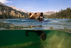 A grizzly bear catches a trout in the US Rocky Mountains