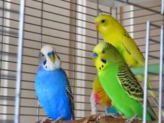 Are you a budgie lover? Want to get added to this board? Just follow us and comment below!