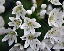 Αγριοκρέμμυδο Allium neapolitanum