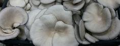 egemantar istiridye, yaprak mantarı üreticisi, istirdye mantarı, toptan mantar satışı, mantar alım satım - Tesisimiz
