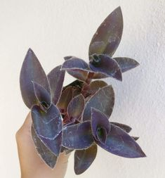 Purple Heart Tradescantia Pallida Succulent | Care Guide - Succulents Box