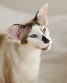Pretty Cats, Beautiful Cats, Animals Beautiful, Cute Animals, Pretty Kitty, Rare Cats, Exotic Cats, Rare Cat Breeds, Best Cat Breeds