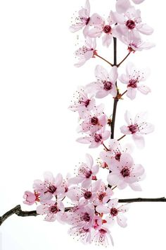 Cherry Blossoms pinned with #Bazaart - www.bazaart.me