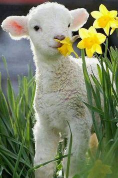Little Lamb. ....💖