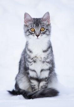 Manu captured by ~Nitrok - posted under Beautiful Photography tagged with: Animals, Cat by Fribly Editorial