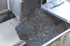 Pouring Cabernet Sauvignon grapes into the crusher.