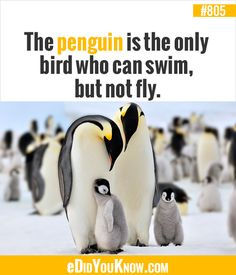 Just like me I can also swim but can't fly high-five penguins ; Wow Facts, Wtf Fun Facts, True Facts, Random Facts, Fun Facts About Penguins, Penguin Facts, Did You Know Facts, Things To Know, Unbelievable Facts