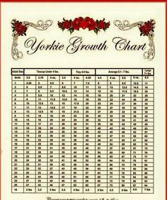 YORKIE PUPPY WEIGHT CHART, yorkie growth chart, weight