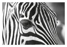 Zebra Print Zebra Wall Art Black White Decor by FroileinJuno