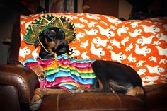 #doberman #dogs My boy Cricket in his costume