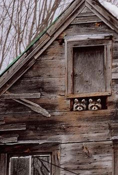 Barn window with two raccoon -Think they've seen us? Farm Animals, Animals And Pets, Funny Animals, Cute Animals, Beautiful Creatures, Animals Beautiful, Tier Fotos, Mundo Animal, All Gods Creatures