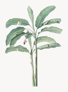Vintage illustration of banana tree Free Vector Antique Illustration, Plant Illustration, Botanical Illustration, Tree Photoshop, Banana Plants, Architecture Collage, Watercolor Trees, Rock Design, Gravure