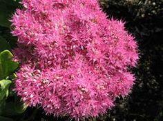 Hylotelephium spectabile 'Neon' - Neon Stonecrop - about 2't x 2'w - full sun