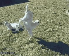 This goat who sort of remembered how to walk. | 39 Incredibly Important Goats