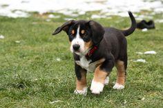 entlebucher | ... Entlebucher Sennenhunde, mailto :arbeitskreis@entlebucher-zucht.com