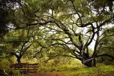 Los Osos Oaks- Bright Overcast Day