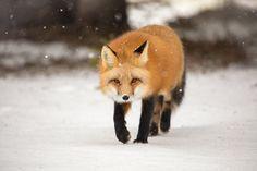 A red fox trots through fresh snow, Prince Edward Island, Canada.