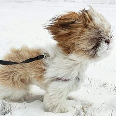 Follow us if you are Shih Tzu lover! To be featured⏩Follow us⏩Tag us #shihtzucorner Photo owner: @lunaandshiro