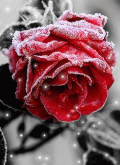 GIF найдено пользователем ღ Veza Muminović ღ. Находите (и сохраняйте!) свои собственные изображения и видео в We Heart It Happy Sunday Images, Rose Flower Wallpaper, Gif Collection, Winter Love, Rose Pictures, Purple Love, Gif Photo, Rose Buds, Flower Art